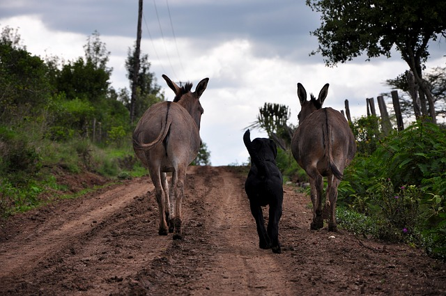 two mules with a dog between them walking down a dirt road, seen from the rear