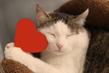 cat with closed eyes snuggles with paper red heart