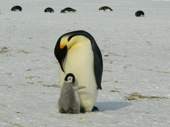 baby penguin snuggled up to adult penguin, both standing upright