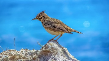 photo of lark against a blue background