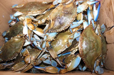 close up of a bunch of Maryland blue crabs