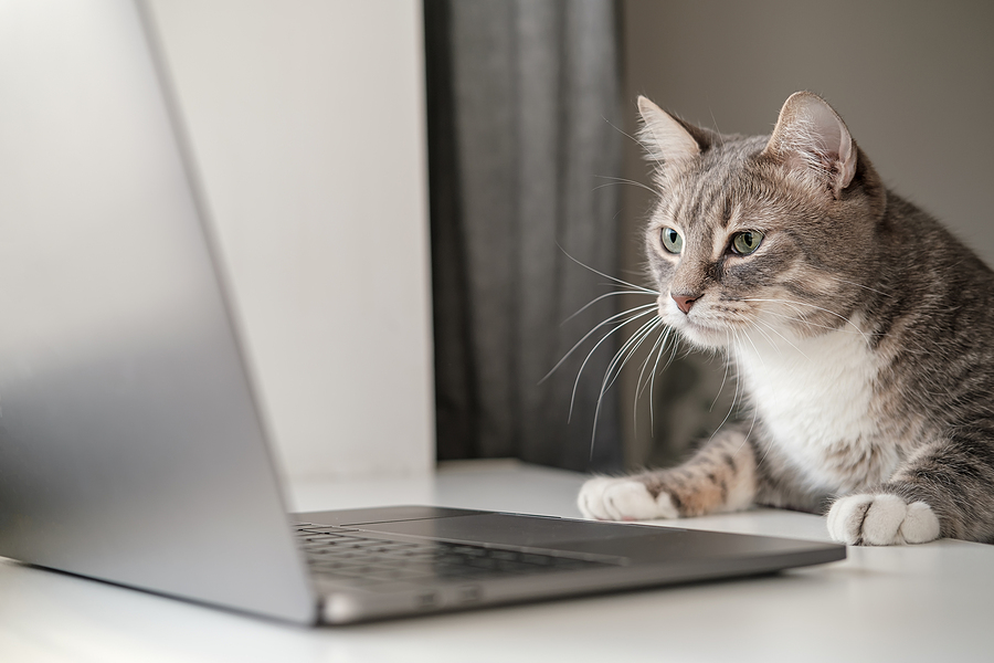 Serious, concentrated cat works remotely on a laptop while sitting at home.