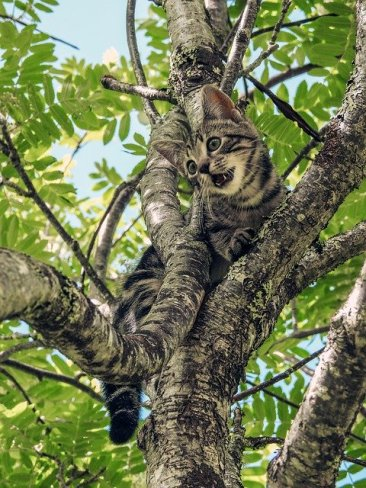 Tabby cat meowing, stuck in a leafy tree